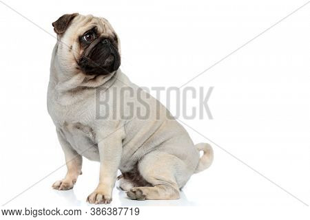 Side view of curious Pug puppy curiously looking over shoulder while sitting on white studio background