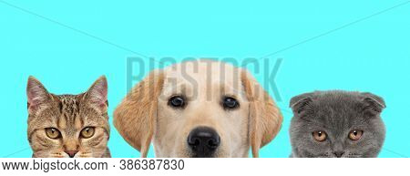 metis cat, Labrador dog and Scottish Fold cat are standing next to each other and looking at camera on blue background