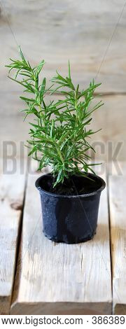 Rosemary Grows In A Pot. A Pot Of Fresh Rosemary On A Wooden Surface. Eco Concept. Eco Food.