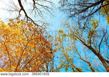 Autumn trees. Orange autumn tree tops against blue sky. Autumn trees branches on the background of blue sky in sunny autumn weather. Autumn background with autumn tree tops