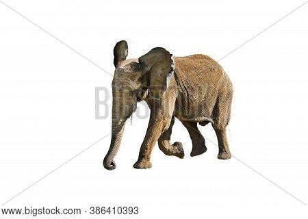 African Elephant Loxodonta Africana African Elephant Loxodonta Africana
