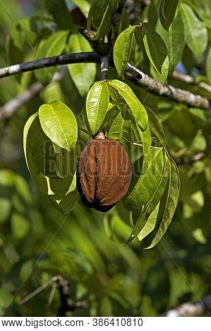 Tree Called Water Cocoa, Orinoco Delta In Venezuela