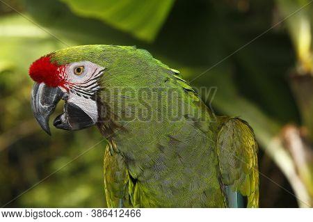 Military Macaw, Ara Militaris, Portrait Of Adult
