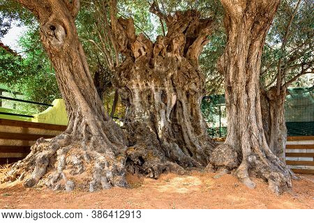 Very Old, Ancient Olive Tree, With Age Over 2500 Years Old. Greece, Salamis Island.