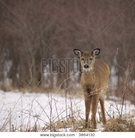 A single fawn standing near some brush on a cold winter day. poster