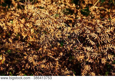 Dry Fern. Dried Fern Leaves In The Sun. Natural Background. Autumn's Gold Leaves Of A Fern. Macro. C