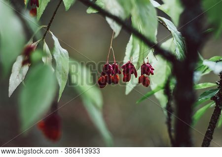 Nature Background. Ripe Berries Of The Spindle Tree In The Forest. European Spindle Euonymus Europae