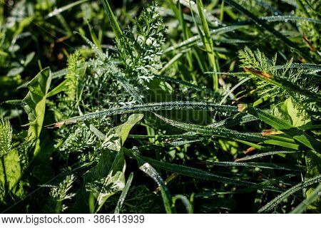 Natural Background. Grass Close-up. Dew On The Grass In The Morning Macro. Green Grass Sedge In The