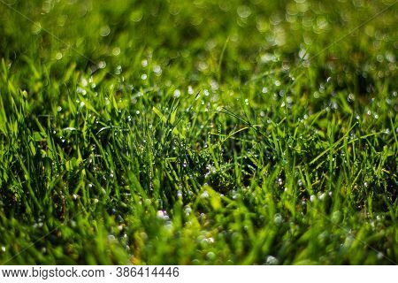 Nature Background. Green Grass Close-up. Dew On The Grass In The Morning In The Sun. Grassy Bright B