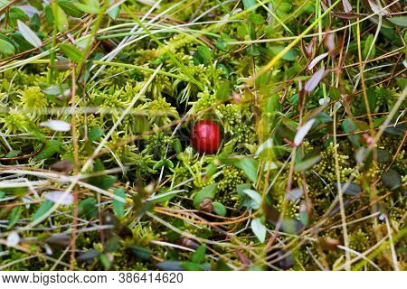 Cranberry Close-up. Red Berries Cranberries Grow On Tussocks In Moss And Swamp. Cranberries In The W