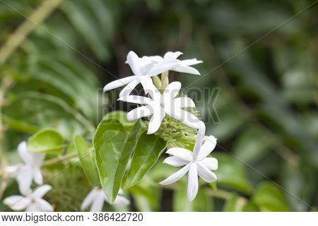 White Flower Of Jasminum Siamense Craib Bloom On Tree In The Garden.