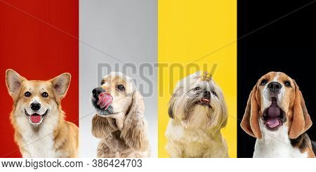 Attention. Stylish Adorable Dogs Posing. Cute Doggies Or Pets Happy. The Different Purebred Puppies.