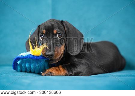 Baby Dachshund Dog Plays And Nibbles Soft Toy To Scratch Teeth And Not Spoil Furniture At New Home.