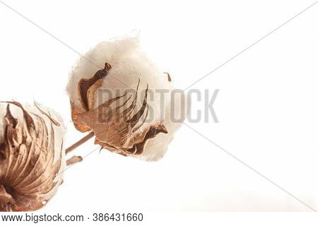 Close Up Of Cotton Plant Flower Isolated On White Background