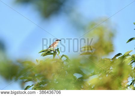 Red Backed Shrike Male Sitting On A Blade Of Grass In A Meadow