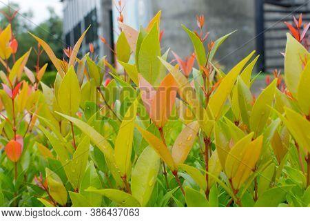 Closeup Beauty Leaf. Australian Rose Apple, Brush Cherry, Creek Lily Pilly, Creel Satinash With Drop