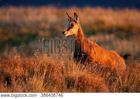 Young Tatra Chamois Standing On Mountains In Sunset.