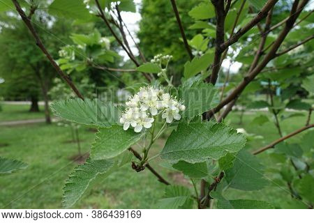 Several White Flowers Of Sorbus Aria In Mid May