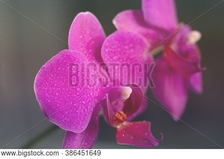 Toned Blooming Background Made Of Close Up View Of Magenta Colored Orchid Phalaenopsis.close Up View