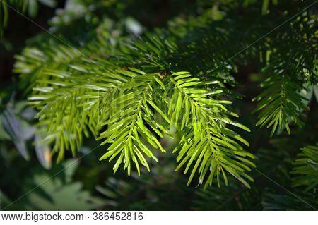 Fir Tree Brunches Close Up. Fluffy Fir Tree Brunches Close Up. Christmas Wallpaper Concept.