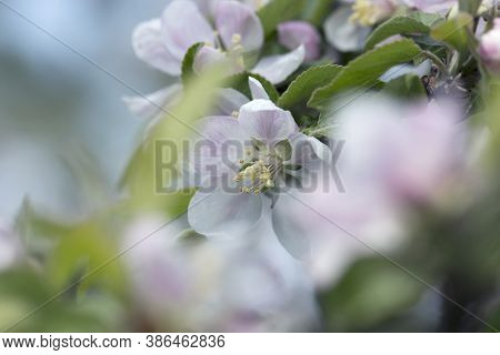 Apple Tree Blossoms With White And Pink Flowers.spring Flowering Garden Fruit Tree. Beautiful Spring