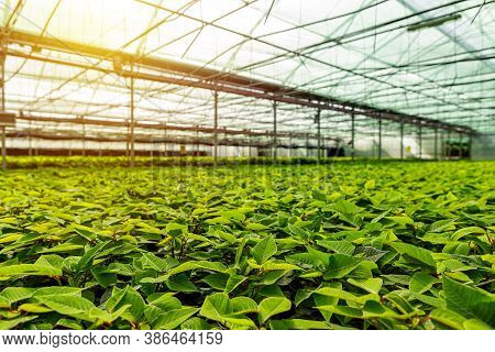 Large Greenhouse With Lots Of Poinsettia. Row Of Plant In Poinsettia Farm