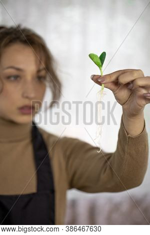 Close Up Female Gardener Holding Microgreens Vegetables Green Seedling With Roots In Hand, Focus On