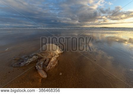 Jellyfish Washed Up On A Beach On The Atlantic Coast At The Atlantic Coast In France.