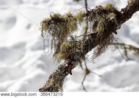 Lichen On The Dry Coniferous Branch Against Blurred Snow Background. Lichens Of Parmelia Sulcata And