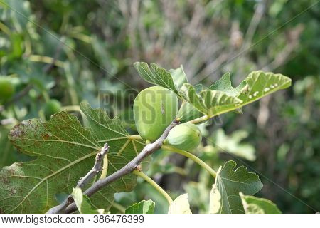 Figs On A Fig Tree Branch. Green Figs On The Tree.