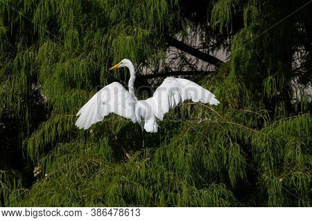 Great White Egret Flapping Its Powerful Wings As It Lands High In The Branches Of A Cedar Tree On A