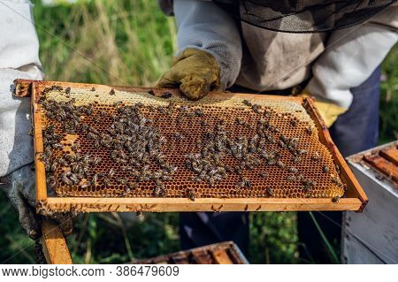 Beekeepers Putting Honeycomb Trays With Honeybees Back Into The Beehive, Beekeepers Preparing To Har