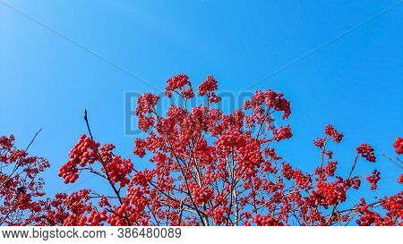 Red Viburnum Against The Blue Sky. Red Berries On Tree Branches. Autumn Berries.clusters Of Viburnum