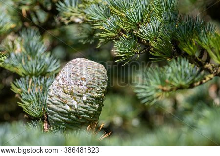 Atlas Cedar (cedrus Atlantica)