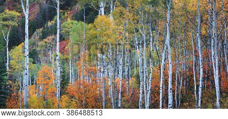 Tall Aspen trees with fall foliage in Colorado rocky mountains