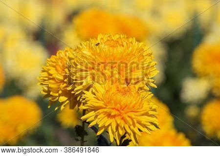 Background Of Yellow Chrysanthemums. A Bee Is Sitting On A Chrysanthemum. Beautiful Bright Chrysanth