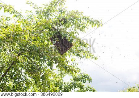 A Swarm Of Bees Sitting Down On A Branch Of A Birch Tree