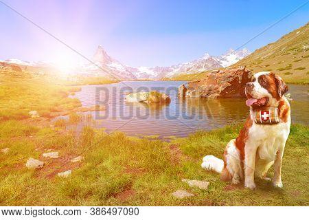 Saint Bernard Rescue Dog With A Keg Of Brandy In Stellisee Lake With Matterhorn Peak. Mount Cervin O