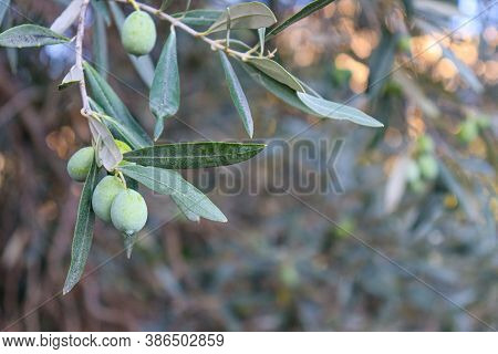 Olive Tree With Olives Close Up With Sky Behind With Clouds. Olive Leaves And Branches. Tree To Make