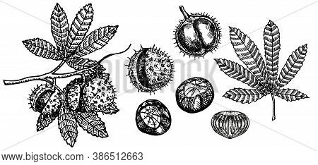 Chestnut Sketch Set. Chestnut Tree Branch. Black And White Fruits And Leaves Of Chestnut. Hand Drawn