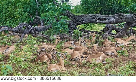 A Group Of Wild Antelopes Are Resting In The National Park. Graceful Animals Lie On The Ground Among