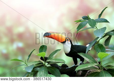 Beautiful colorful toucan bird (Ramphastidae) on a branch in a rainforest. On blurred background of green color. Copy space for text