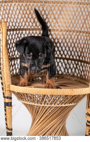 A Portrait Of A Cute Jack Russel Terrier Dog, Standing On A Rattan Chair, Isolated On A White Backgr