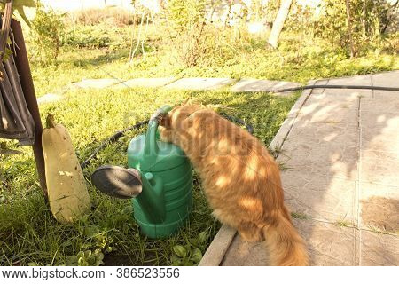 Red Furry Cat Drinks Water From A Watering Can. Close Up