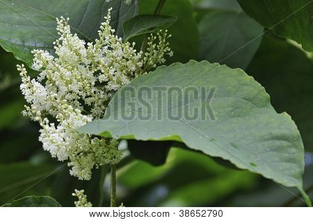 Japanese Knotweed Flowers