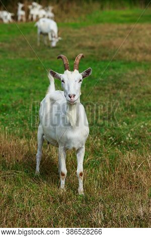 Young White Goat In A Green Meadow