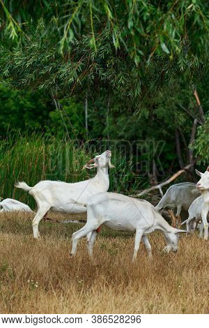Goats In The Pasture Of Organic Farm