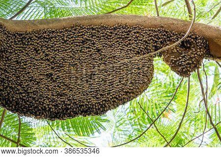 Closeup Huge Beehive Of Giant Honey Bees On Tree Branch