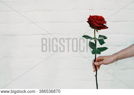 Flower Power, Signs Of Peace, Stop Violence, Peaceful Protest Symbol. One Red Rose In Female Hand On