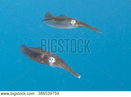 Caribbean Reef Squid,sepioteuthis Sepioidea, Commonly Called The Reef Squid